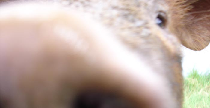 close up picture of a pig